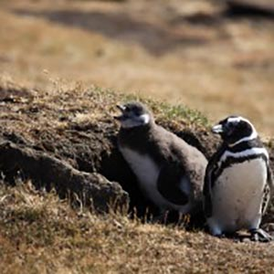 Magellanic Penguin Chicks Struggling to Cope with Climate Change