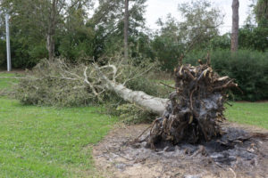 uprooted tree hurricane matthew