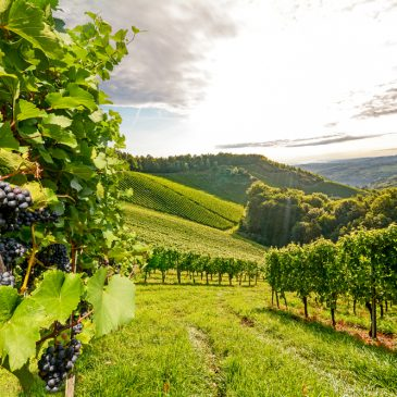 Wine Production May Take a Turn Due to Rising Temperatures