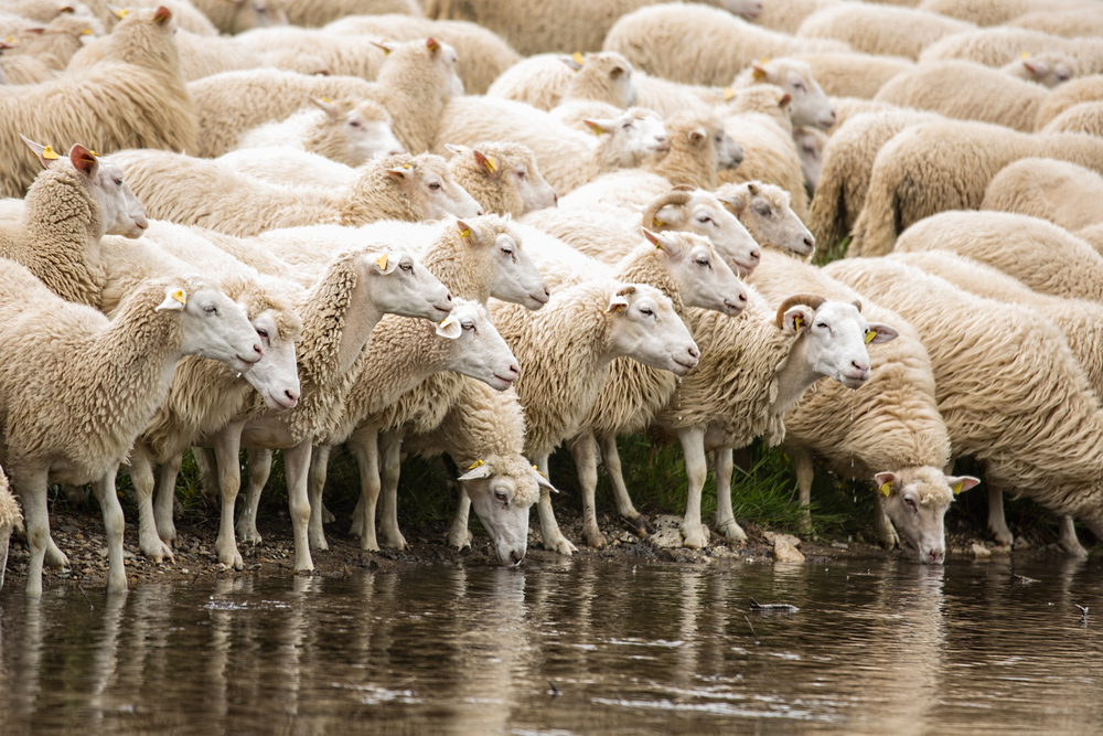 herd of sheep at water