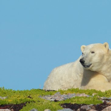 Photographer Captures Polar Bears in a Changing Alaskan Habitat